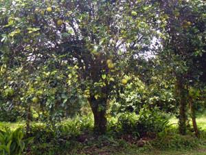 Toronja Tree