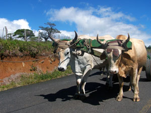 A team of the famous Costa Rican oxen pull a cart along the paved highway to Tierras Morenas.